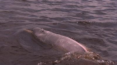 Boto, der rosa Flussdelfin