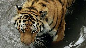 Kragenbären im Tigerwald