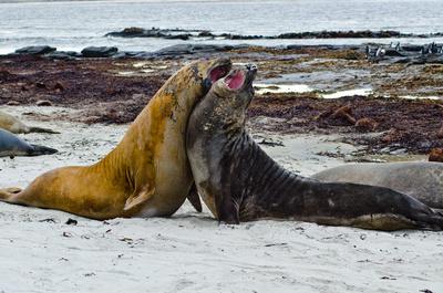 Wilde Inseln: Falklandinseln