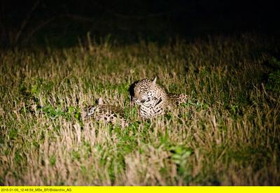 Jaguarsafari