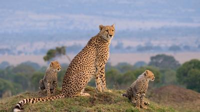 Die Großkatzen der Masai Mara (1/2)