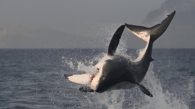 Planet E. - Planet E.: Alison Kock Und Der Weiße Hai