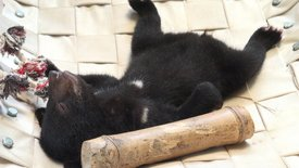 Tam Dao - Lichtblick für Vietnams Bären