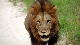 Zentralkalahari - Nur für Löwen?