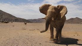 Das Geheimnis der Wüstenelefanten