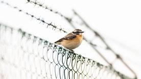 Braunkehlchen, Kiebitz & Kaiseradler -<br/>wie retten wir Österreichs Vogelwelt?