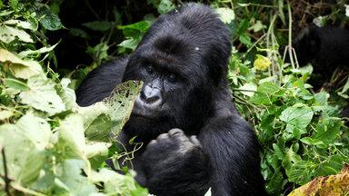 Planet E. - Planet E.: Raubbau Im Gorilla-paradies
