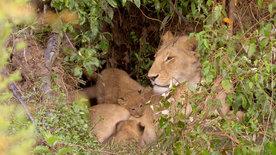 Die Großkatzen der Masai Mara (2/2)