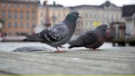 Bester Freund - größter Feind: Mensch und Taube