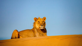 Die Wüstenlöwen der Namib - Aufbruch und Wiederkehr