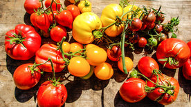 Triumph der Tomate