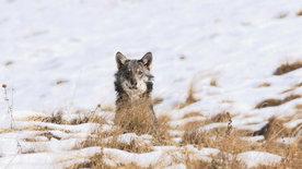 NETZ NATUR: Erklärungen zum Wolf