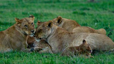 Die Königinnen der Savanne