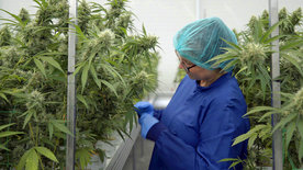 makro: Cannabis made in Germany