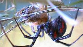 NETZ NATUR: Die schwarze Spinne