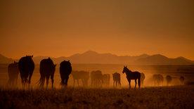 Die Wüstenpferde Namibias