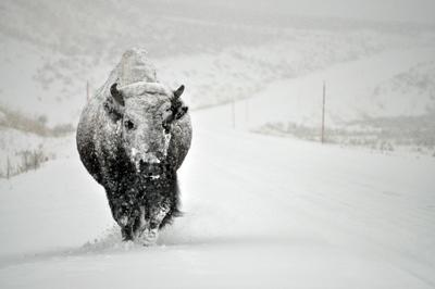 Im Zauber der Wildnis - Yellowstone