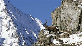 Im Reich des Steinadlers -<br/>Eine Naturgeschichte der Alpen (2/3)