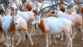 Insel der weißen Antilope - Abu Dhabis Naturoase