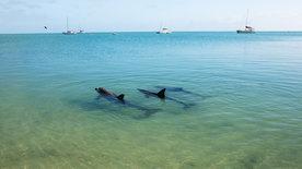 Die Delfine von Shark Bay