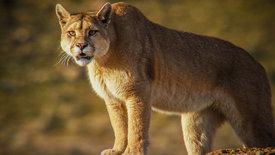 Pumas - In der Wildnis Patagoniens