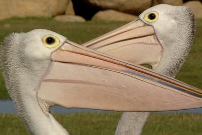 Die Reise der Pelikane