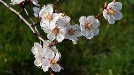 Der Duft der Marille - Die sonnige Frucht der Wachau
