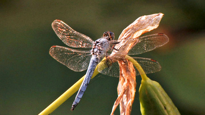 Libellen - Die Himmelsjäger