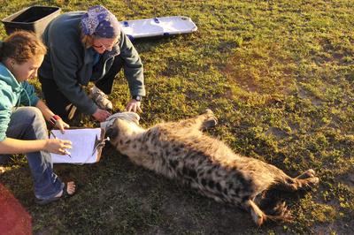 Hyänen - Die Königinnen der Masai Mara