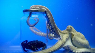 Oktopusse - Genies aus der Tiefsee