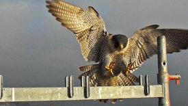 NETZ NATUR: Der Ruf des Falken