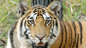 Tiger hautnah! (2/3)