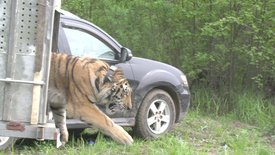 Leben mit dem Tigerrr ...