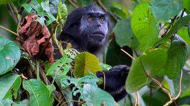 Tarzan und die Affen von Siberut