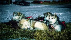 Hundeschlittenrennen in Röros