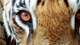 Tiger hautnah! (3/3)