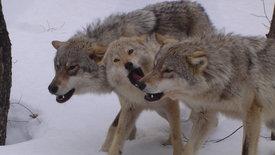 Von Wölfen, Hunden und Menschen